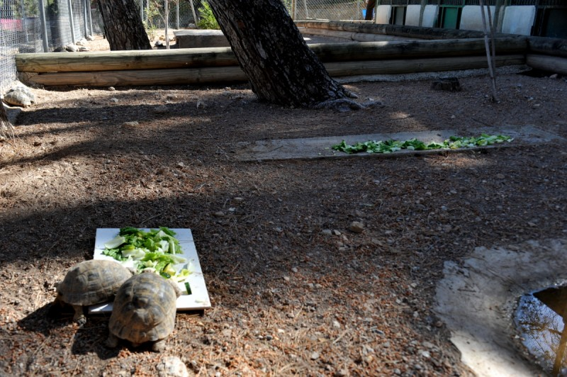 Wild tortoise ownership in Murcia and Spain: illegal but surprisingly common
