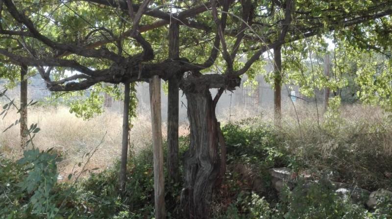 <span style='color:#780948'>ARCHIVED</span> - Free vines in Berja, Almeria, to preserve historical grape varieties