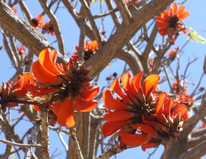 <span style='color:#780948'>ARCHIVED</span> - African coral, plant of the month at Malaga's fabulous botanical gardens
