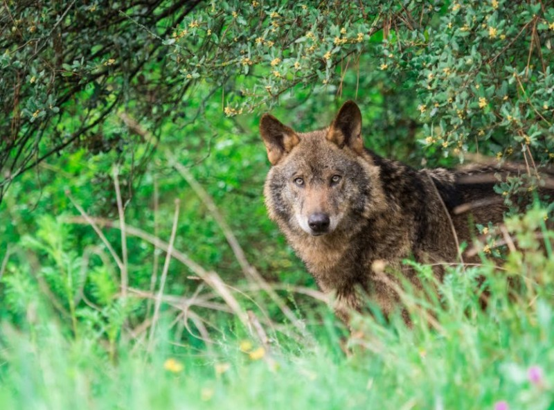 <span style='color:#780948'>ARCHIVED</span> - Cantabria government authorizes wolf cull